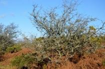 Twisted hawthorns