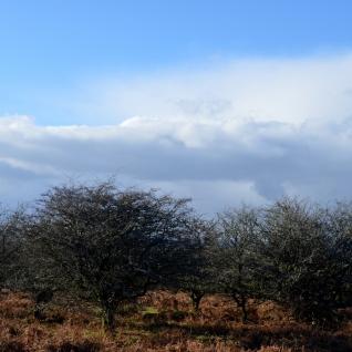 Moorland trees and big skies
