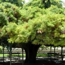 Juniper tree, Principe Real
